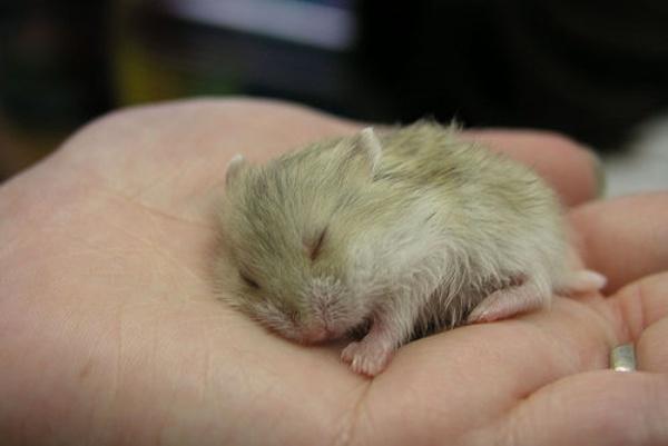 cuidar-hamster
